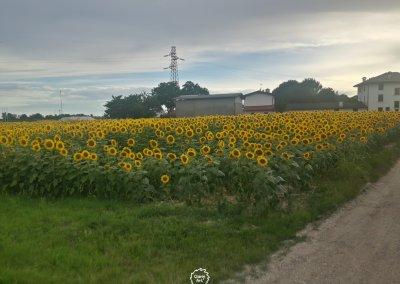 Über Sonnenblumenfelder...