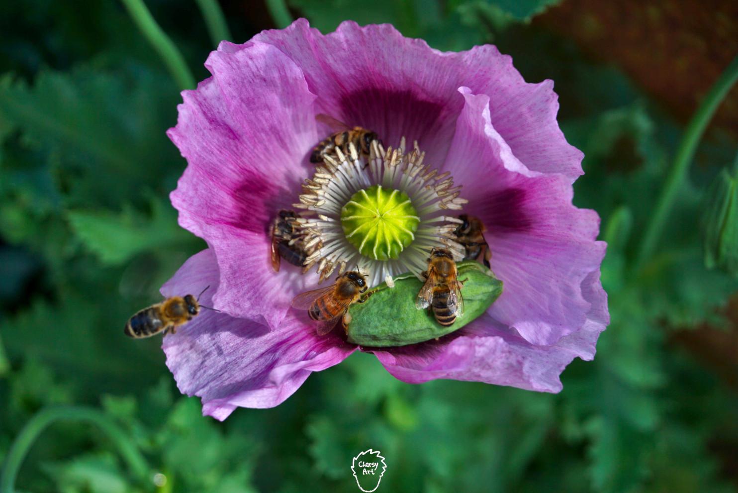 Bienen in Blüte